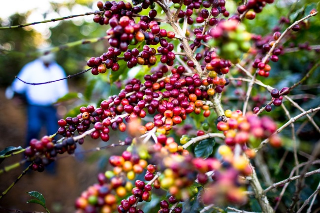 Fully ripened coffee cherries